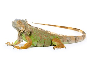 green iguana pet