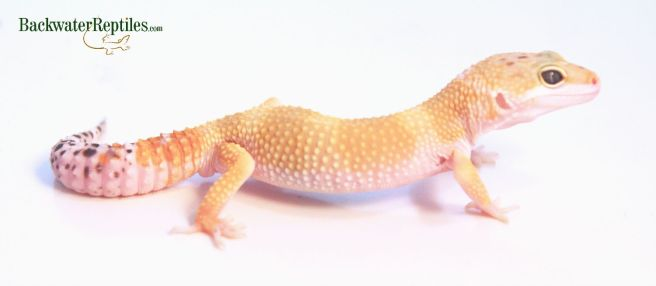 high color leopard gecko