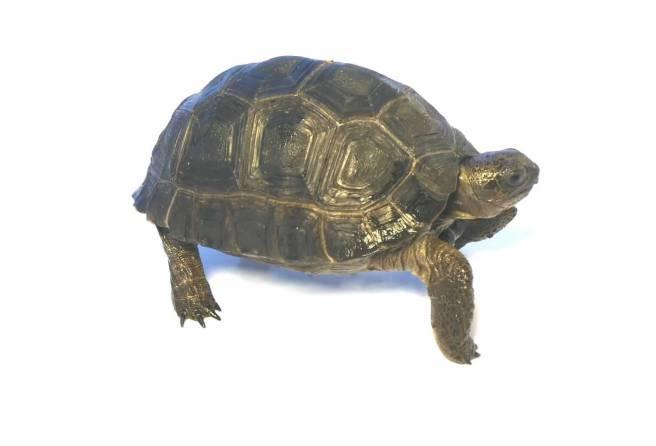 juvenile aldabra tortoise