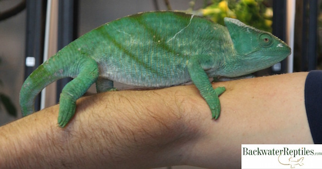 parsons chameleon - world's largest