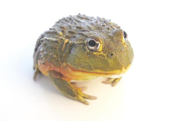 large Pixie frog (Pyxicephalus adsperus)