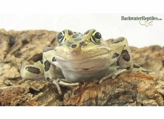 Top five best pet frogs