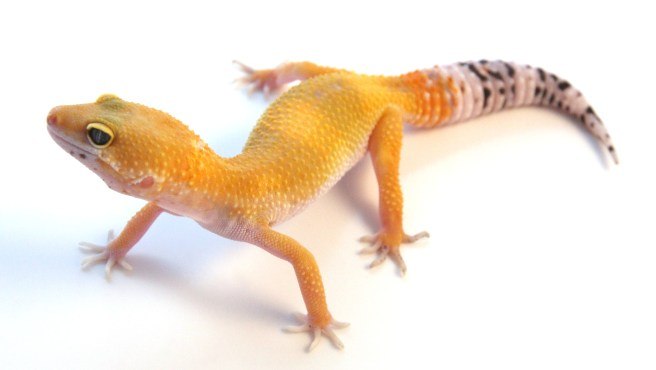 leopard gecko food