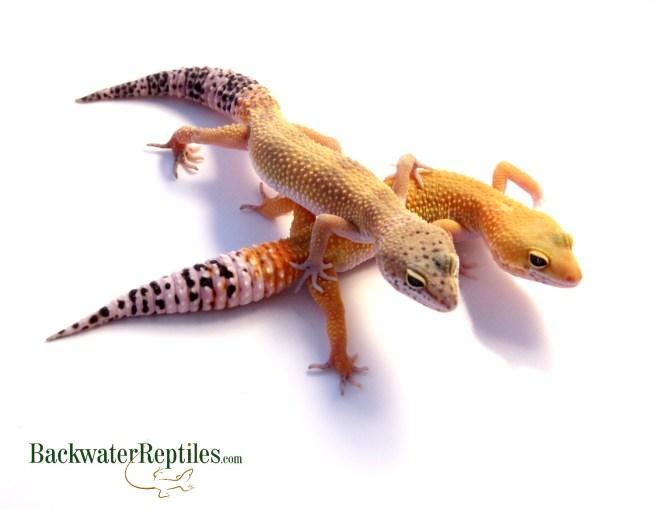 leopard gecko shed