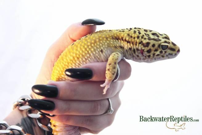 do leopard geckos need uvb lighting