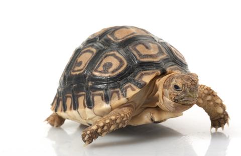 Hatchling leopard tortoise