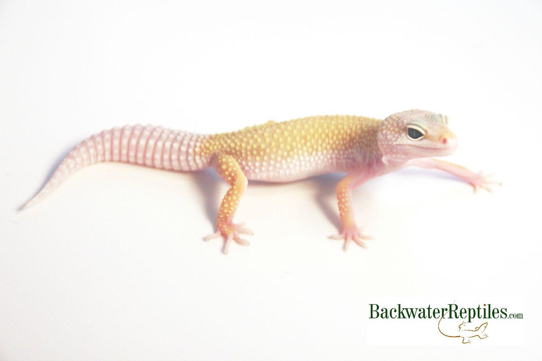 Most Popular Leopard Gecko Morphs