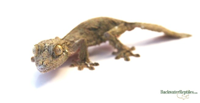 mossy leaftail gecko