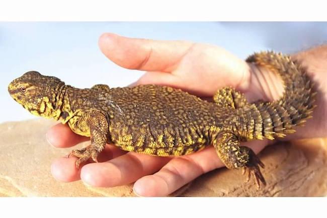 most docile pet lizards