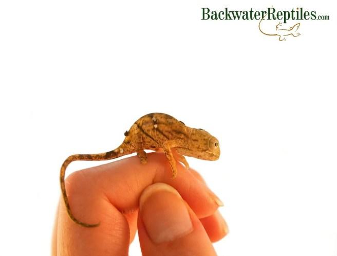 newborn parsons chameleon