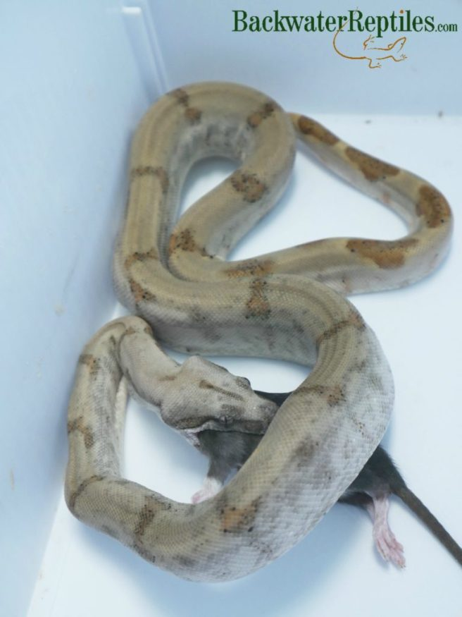 pearl island boa eating