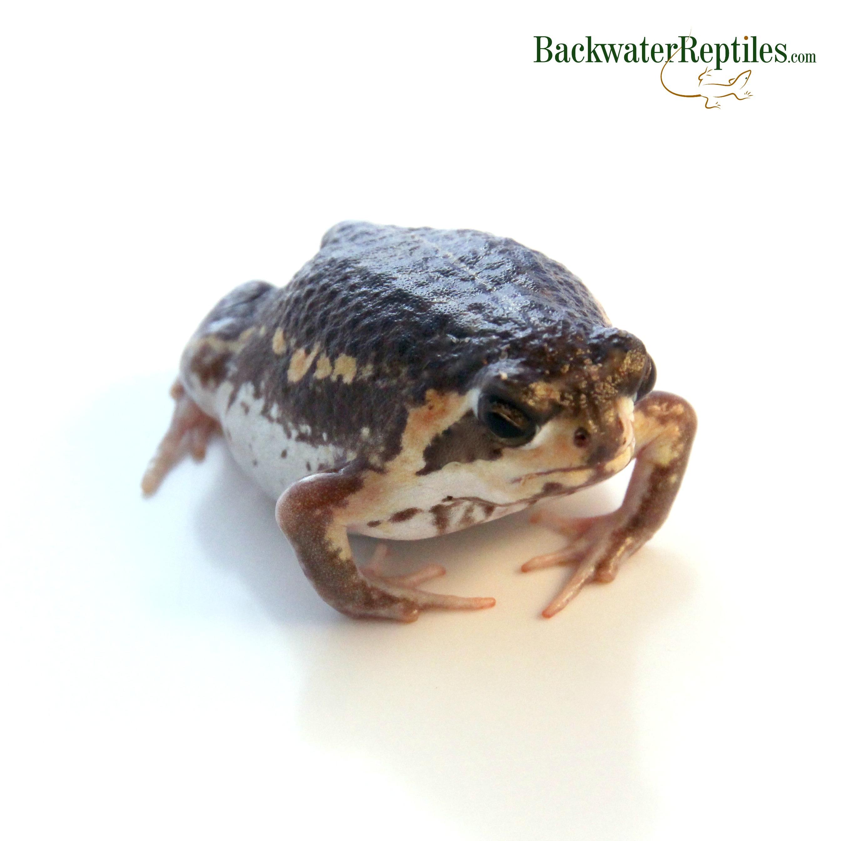 The Grumpy Rain Frog Breviceps Mossambicus
