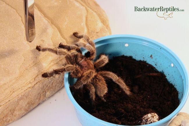 rose hair tarantula ban