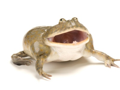 Screaming Budgetts Frog