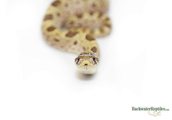 toffee hognose snake