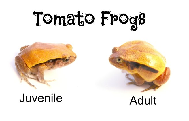 tomato frogs