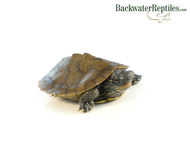 turtle brumation