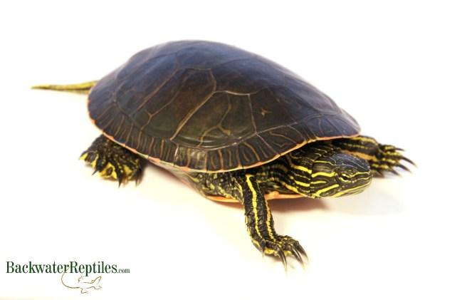 turtles and salmonella