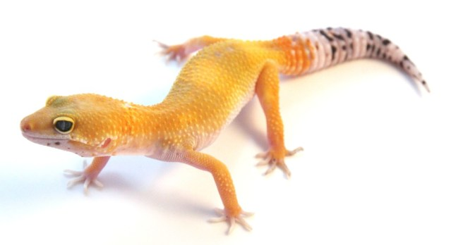 what leopard geckos eat