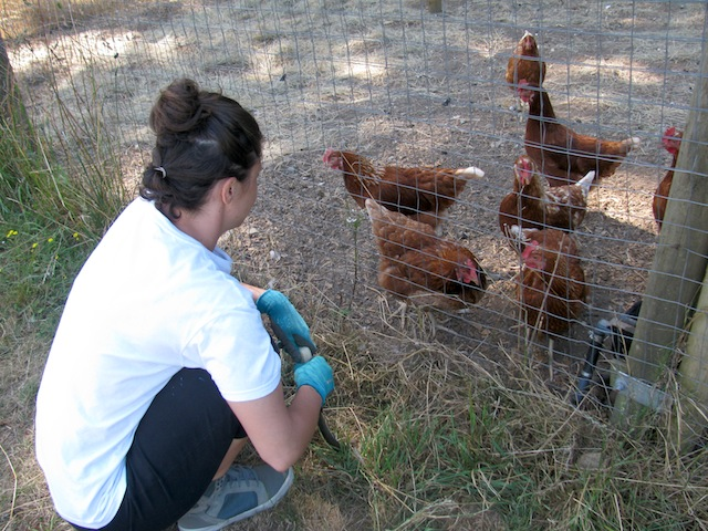 1 - chickens