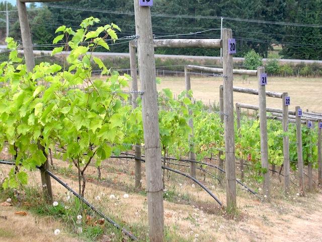 1 - vineyards