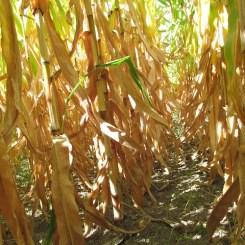 6 - oak_glen_california_corn_maze