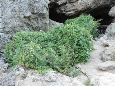 Poison ivy bush