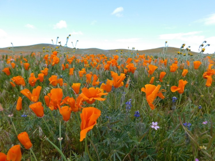 When poppies pop at Antelope Valley California Poppy Reserve