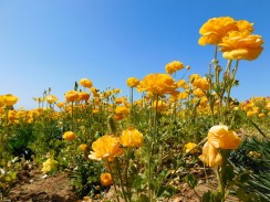 6-flower-fields-carlsbad-ranch