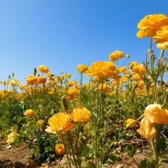 6-flower-fields-carlsbad-ranch