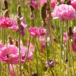 7-flower-fields-carlsbad-ranch