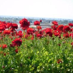 8-flower-fields-carlsbad-ranch