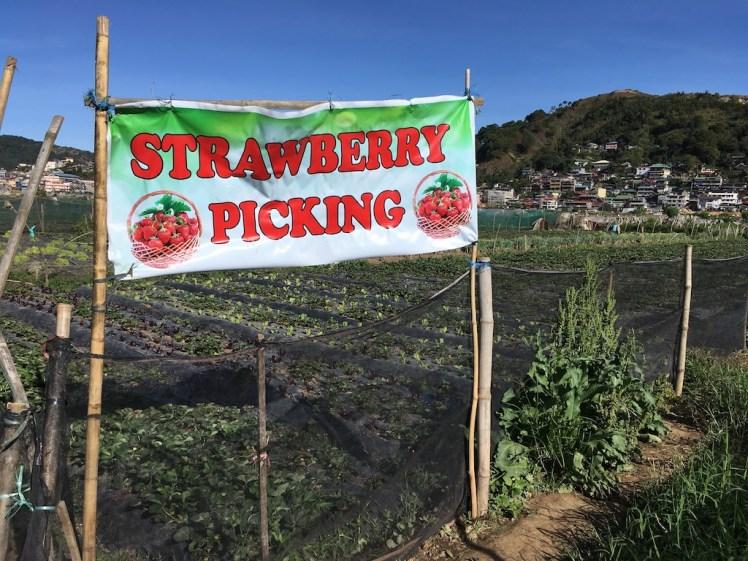 Stawberry Farm, La Trinidad, Benguet, Philippines