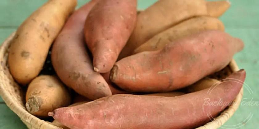 Growing Sweet Potatoes, Backyard Eden, www.backyard-eden.com