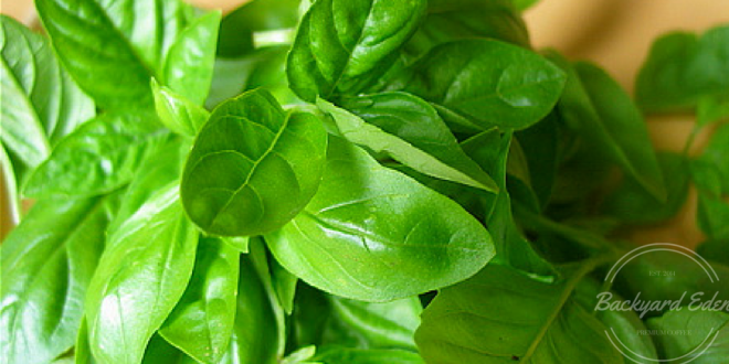 How to grow basil, starting seeds indoors, starting seeds, growing herbs, starting herbs from seeds, Backyard Eden, www.backyard-eden.com