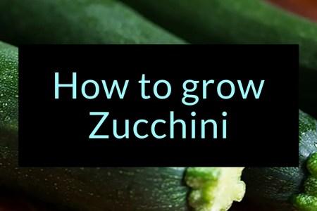 How to grow Zucchini, zucchini, Backyard Eden, www.backyard-eden.com, www.backyard-eden.com/how-to-grow-zucchini