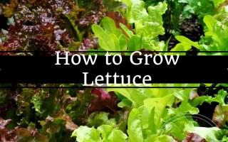 How to grow lettuce, Lettuce, Growing greens, Grow your own, backyard garden, backyard farming, backyard eden, www.backyard-eden.com
