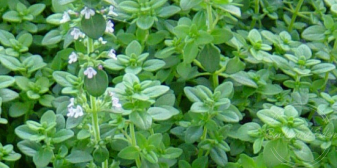 Best Herbs to grow in you garden, herbs, how to grow, backyard eden, www.backyard-eden.com