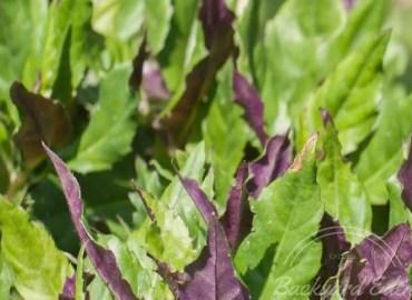 Okinawan Spinach Cuttings, Okinawan Spinach, cuttings, Backyard Eden, www.backyard-eden.com