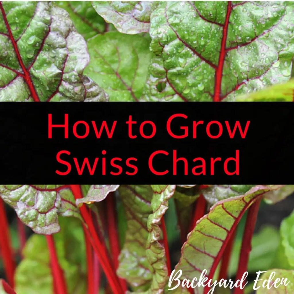 How to grow swiss chard, grow swiss chard, swiss chard, Backyard Eden, www.backyard-eden, www.backyard-eden.com/how-to-grow-swiss-chard