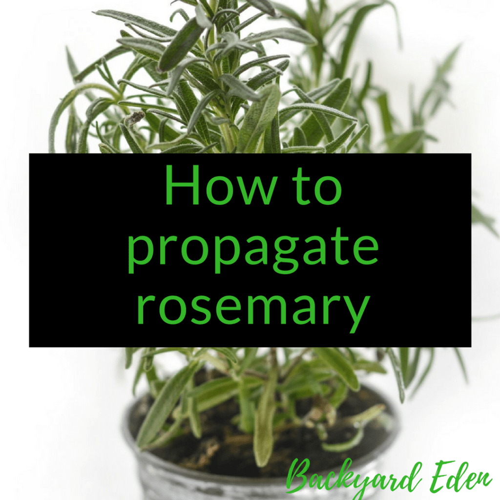 How to propagate rosemary, rosemary, herbs, Backyard Eden, www.backyard-eden.com. www.backyard-eden.com/how-to-propagate-rosemary