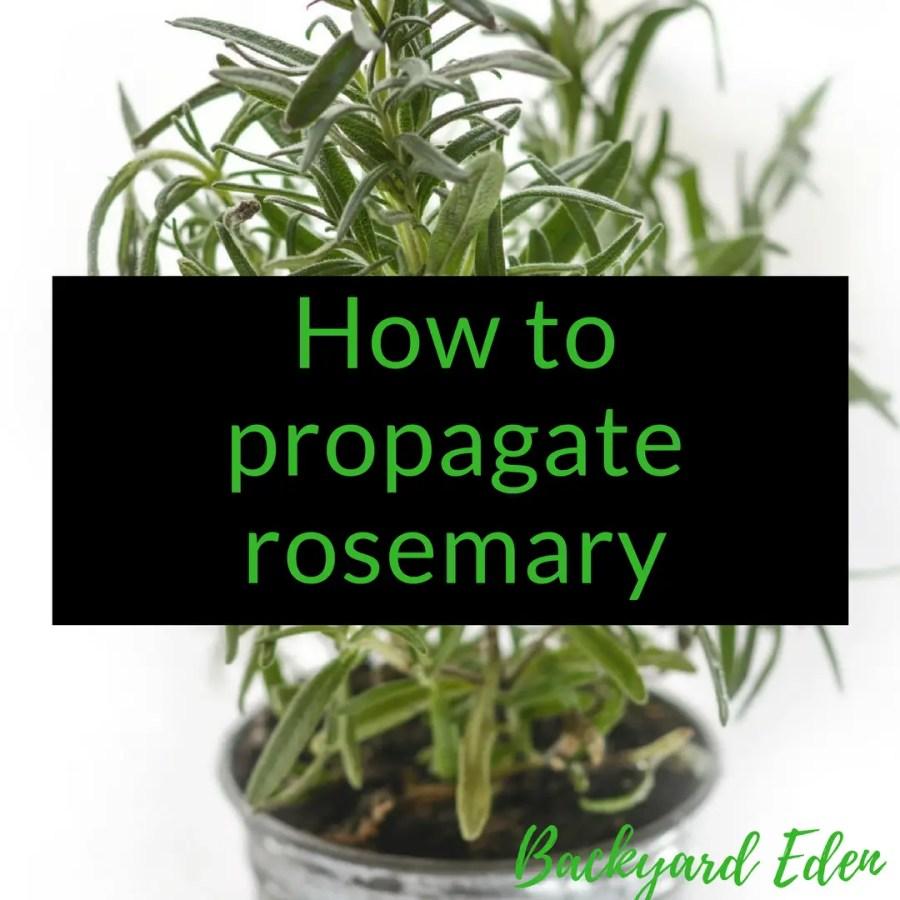 How to propagate rosemary, rosemary, herbs, Backyard Eden, www.backyard-eden.com. www.backyard-eden.com/how-to-propagate-rosemary