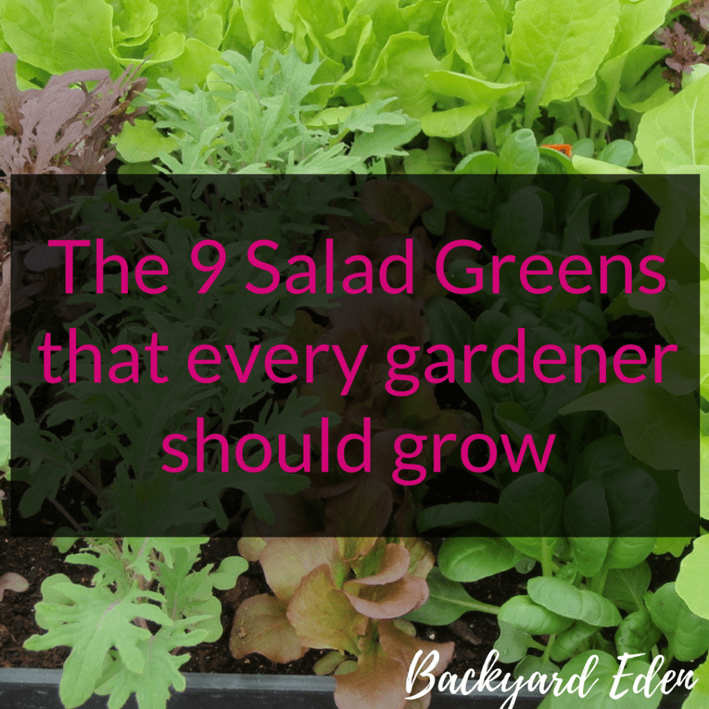 The 9 Salad Greens that every gardener should grow, Salad Greens, Backyard Eden, www.backyard-eden.com, www.backyard-eden.com/9-salad-greens-every-gardener-grow
