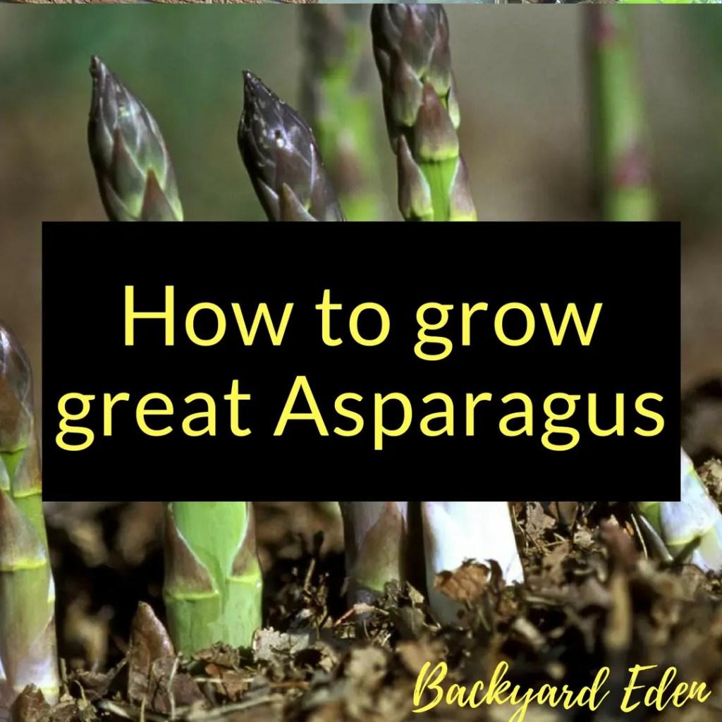 How to grow great Asparagus, grow Asaparagus, Backyard Eden, www.backyard-eden.com, www.backyard-eden.com/how-to-grow-great-asparagus