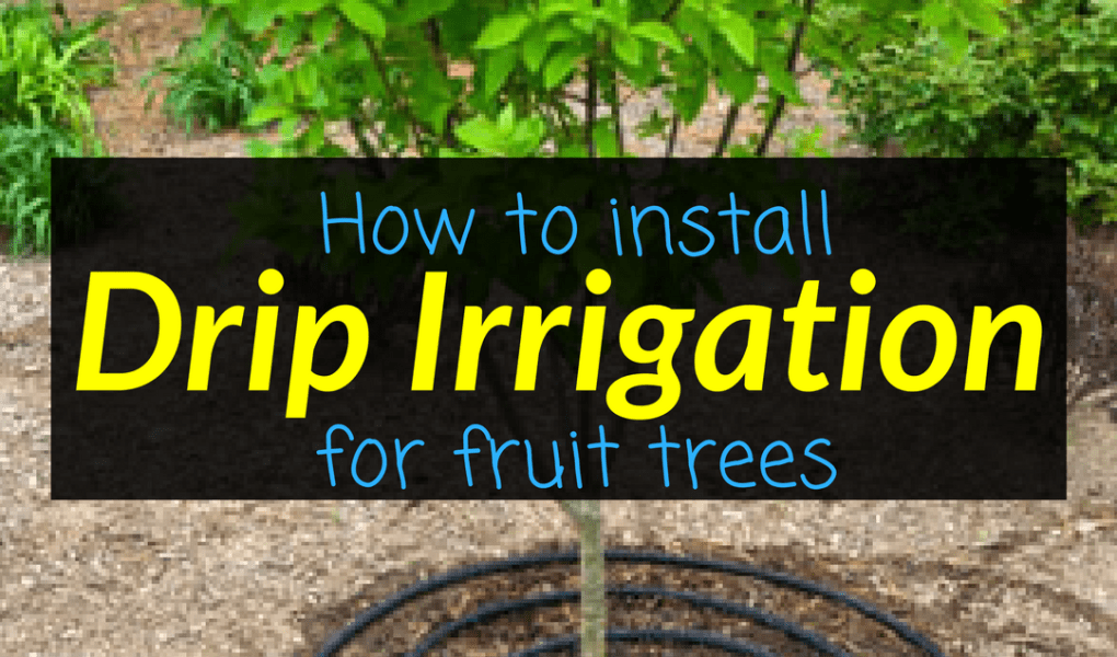 How to install drip irrigation for fruit trees, fruit trees, drip irrgiation, Backyard Eden, www.backyard-eden.com, www.backyard-eden.com/how-to-install-drip-irrigation-for-fruit-trees