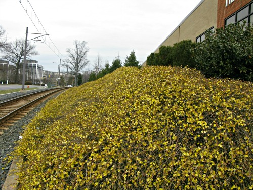 Flowering Winter Jasmine covers a sunny slope in January