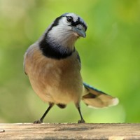 Lighthearted Limericks - Blue Jay (#2)
