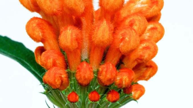 Leonotis leonurus close-up of flower buds