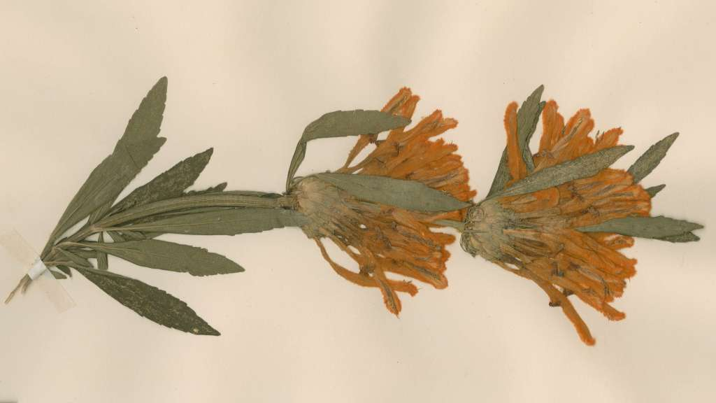 Pressed herbarium specimen of Leonotis leonurus from the Chelsea Physic Garden, 1771.