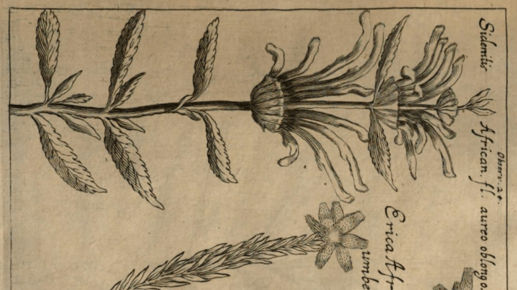 Earliest known illustration of Leonotis leonurus, in an article by Thomas Bartholinus, 1675.